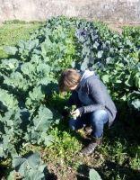 Cogiendo rúcula entre los romanescos y las coles - enero 2015